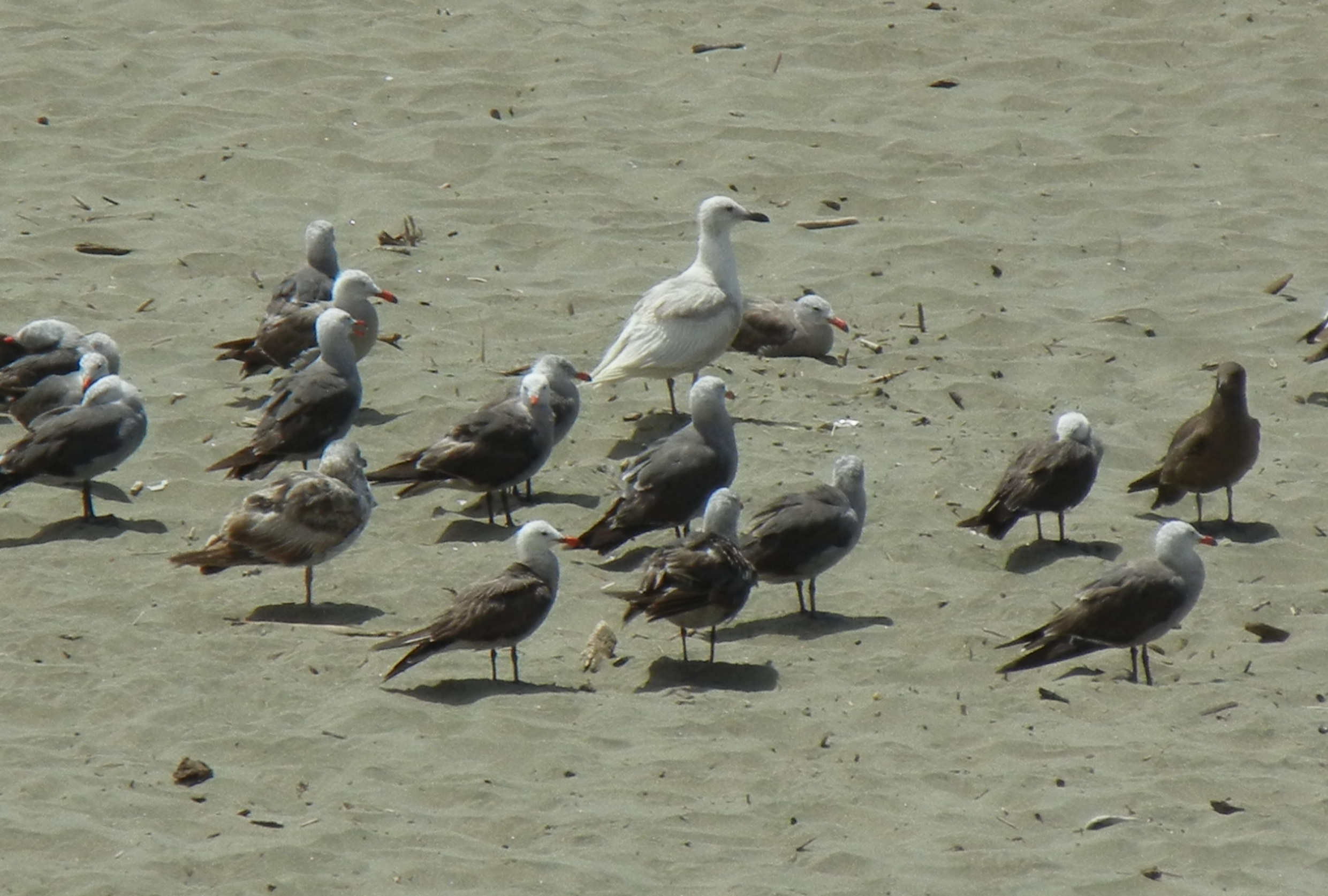 Tricky bleached Glaucous-winged Gull, at Golden Gate Beachfront, CA, July 2011